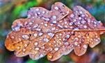 Gefrorene Tautropfen auf eine Blatt einer Traubenbeiche(Quercus petraea(Mattuschka)Liebl)