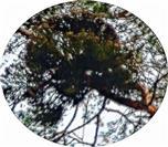 Kiefern-Mistel(Viscum album ssp. austriacum(Wiesb.)Vollm.) an Waldkiefer(Pinus sylvestris(L.))