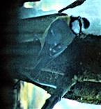 Blaumeise(Cyanistes caeruleus(L. 1758)) in der Nähe einer Futterstelle
