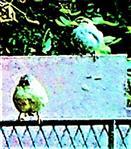 Zwei weibliche Haussperlinge(Passer domesticus(L. 1758)) an einem Komposthaufen