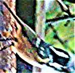 Tannenmeise(Periparus ater(L. 1758)) nahrungssuchend und kurz rastend Januar 2ß21