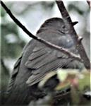 Weibliche Amsel(Turdus merula(L. 1758)) als Gast aus dem Wald Februar 2021