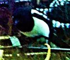 Elster(Pica pica(L. 1758)) an einem Komposthaufen Januar 2021