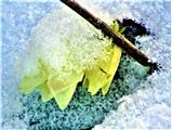 Blüten einer Schneerose(Helleborus niger(L.)) im Schnee Februar 2021