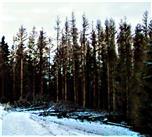 Abgestorbene Gemeine Fichten(Picea abies(L.)H. Karst.) nördlich des Skiliftes Hirzenhain-Eiershausen