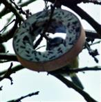 Blaumeise(Cyanistes caeruleus(L.1758)) an einem Meisenring Februar 2021