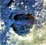 Trittsiegel eines Rehes(Capreolus capreolus(L. 1758)) im Schnee