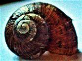 Gehäuse einer Weinbergschnecke(Helix pomatia(L. 1758))