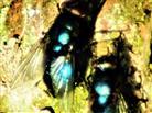 Goldfliege(Lucilia sericata(Meigen 1826)) sich wärmend