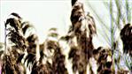 Rispen des Schilfrohres(Phragmites australis(Cav.) Trin. ex Steud.)
