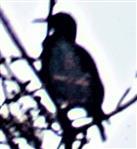 Gemeiner Star(Sturnus vulgaris(L. 1758)) auf einer Sitzwarte