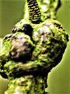 Verwachsungen an einem Zweig der Europäischen Lärche(Larix decidua(L.))