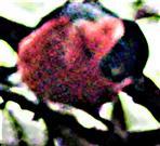Männlicher Gimpel bzw. Dompfaff(Pyrrhula pyrrhula(L. 1758)) März 2021