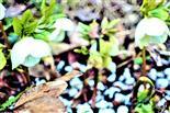 Blüten der Schnee- bzw. Christrose(Helleborus niger(L.))
