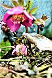 Schnee- bzw. Christrose(Helleborus niger(L.) ssp. niger)