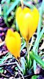Kleiner Krokus(Crocus chrysanthus(Herbst.)Herbst.)