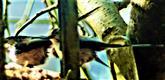 Schwanzmeisen(Aegithalos caudatus europaeus(L. 1758)) an einer Futterstelle März 2021