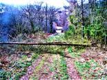Windwurf bei Gemeinen Fichtenstangen(Picea abies(L.) H. Karst.)