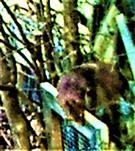Eichhörnchen(Sciurus vulgaris(L. 1758)) auf Nahrungssuche März 2021