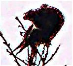 Männlicher Turmfalke(Terzel)(Falco tinnunculus(L. 1758)) während seiner Gefiederpflege