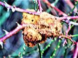 Älte Galle der Gemeinen Rosengallwespe(Diplolepis rosae(L. 1758)) geschlüpft