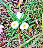 Frühlings-Krokus(Crocus vernus(L.)Hill.)