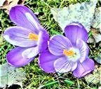 Frühlings-Krokus(Crocus vernus(L)Hill.)