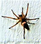 Blasse Sackspinne(Clubiona pallidula(Clerck 1757))