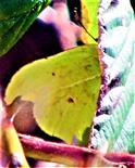 Männlicher Zitronenfalter(Gonepteryx rhamni(L. 1758)) hinter einem Brombeerblatt(Rubus fruticosus(L.)) Schutz suchend