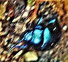 Himmelblauer Blattkäfer(Chrysolina coerulans(Scriba 1791)) am Boden