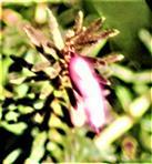 Erste Blüten einer Besenheide(Calluna vulgaris(L.)Hill.)