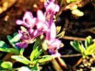 Blüten des Gewöhnlichen Erdrauches(Fumaria officinalis(L.))