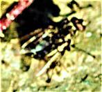 Fleischfliege(Sarcophaga carnaria(L. 1758))