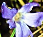 Blüte eines Kleinen Immergrüns(Vinca minor(L.))