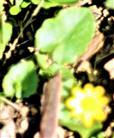Scharbockskraut(Ficaria verna(Huds.))
