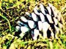 Alter Pinienzapfen von einer Waldkiefer(Pinus sylvestris(L.))