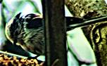 Schwanzmeise(Aegithalos caudatus europaeus(L. 1758)) am Vogelfutterhaus März 2021