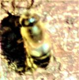 Gemeine Keilfleckschwebfliege(Eristalis pertinax(Scopoli 1763))(weiblich)