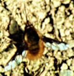 Großer Wollschweber(Bombylius major(Latreille 1802)) sich am Waldrand wärmend