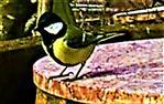 Männliche Kohlmeise(Parus major(L. 1758)) in der Nähe einer Futterstelle