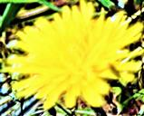 Blüte eines GewöhnlichenLöwenzahnes(Taraxacum officinale(L.))
