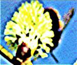 Weibliche Gehörnte Mauerbiene(Osmia cornuta(Latreille 1805))