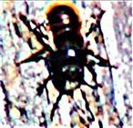 Männliche Gehörnte Mauerbiene(Osmia cornuta(Latreille 1805))