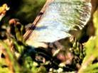 Ältere geflügelte Spaltfrucht(Flügelnuss) eines Bergahorns(Acer pseudoplatanus(L.))