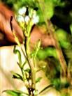 Acker-Schmalwand(Arabidopsis thaliana(L.)Heynh.)