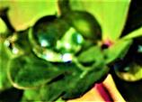 Regentropfen auf einem Blatt einer Akelei(Aquilegia(L.)) im Sonnenlicht