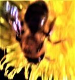 Zweifarbige Sandbiene(Andrena bicolor(Fabrcius 1775)) beim Blütenbesuch