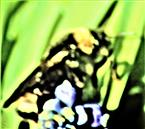 Angebundene oder Böhmische Kuckuckshummel(Bombus(Psithyrus) bohemicus(Seidl 1837))(weiblich)