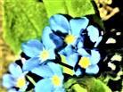 Blüten des Bunten Vergissmeinnicht(Myosotis discolor(L.))