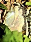 Weinbergschnecke(Helix pomatia(L. 1758)) 01